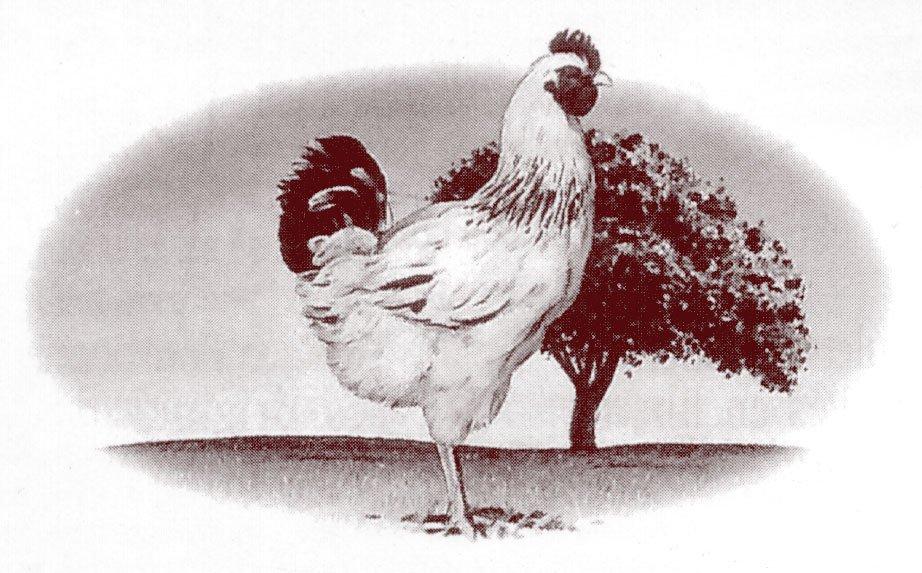 Minc de poulet marin citron chalote sauce soja et - Dessin de poulet ...